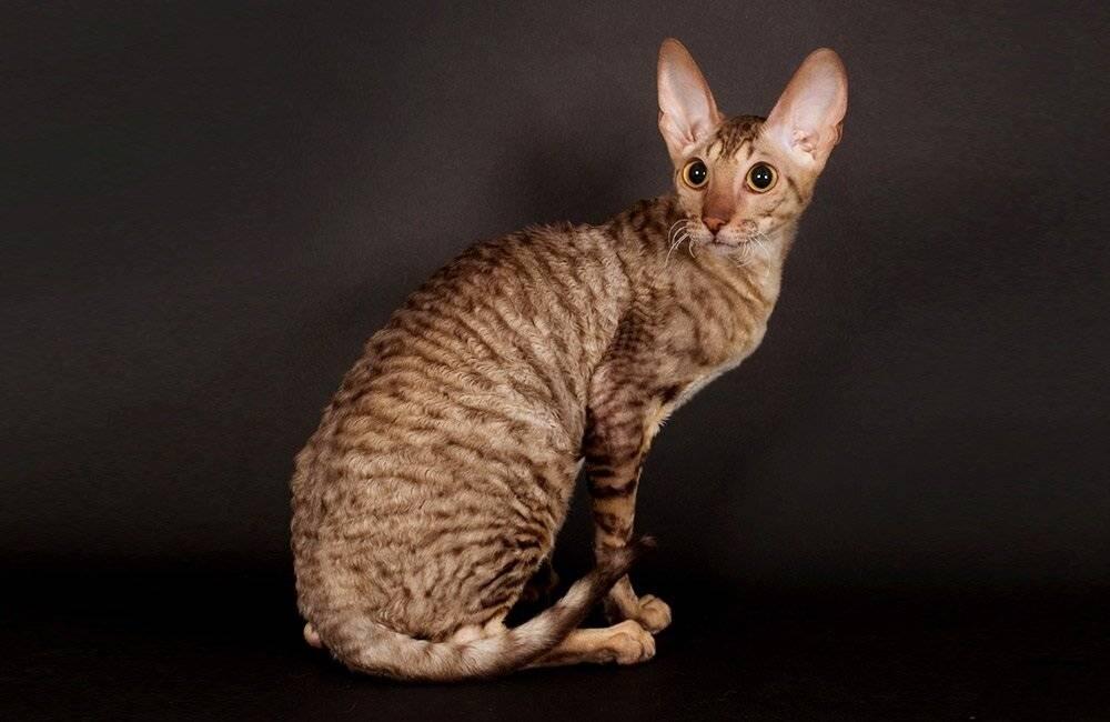 Гладкошерстные кошки