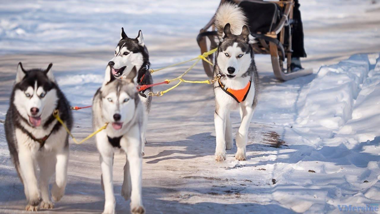 7 пород собак, которые легко переносят и зимние морозы, и летнюю жару
