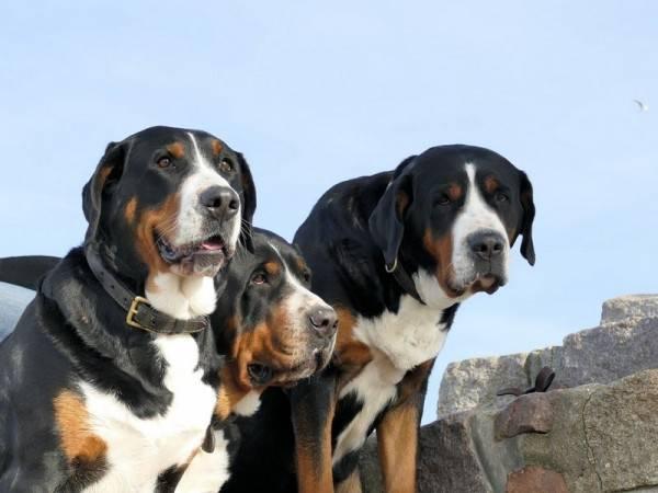Большой швейцарский зенненхунд: гросс (гроссер) - фото, видео, описание породы, питомники, уход за щенком, цена, отношение собак к детям, а также отзывы владельцев