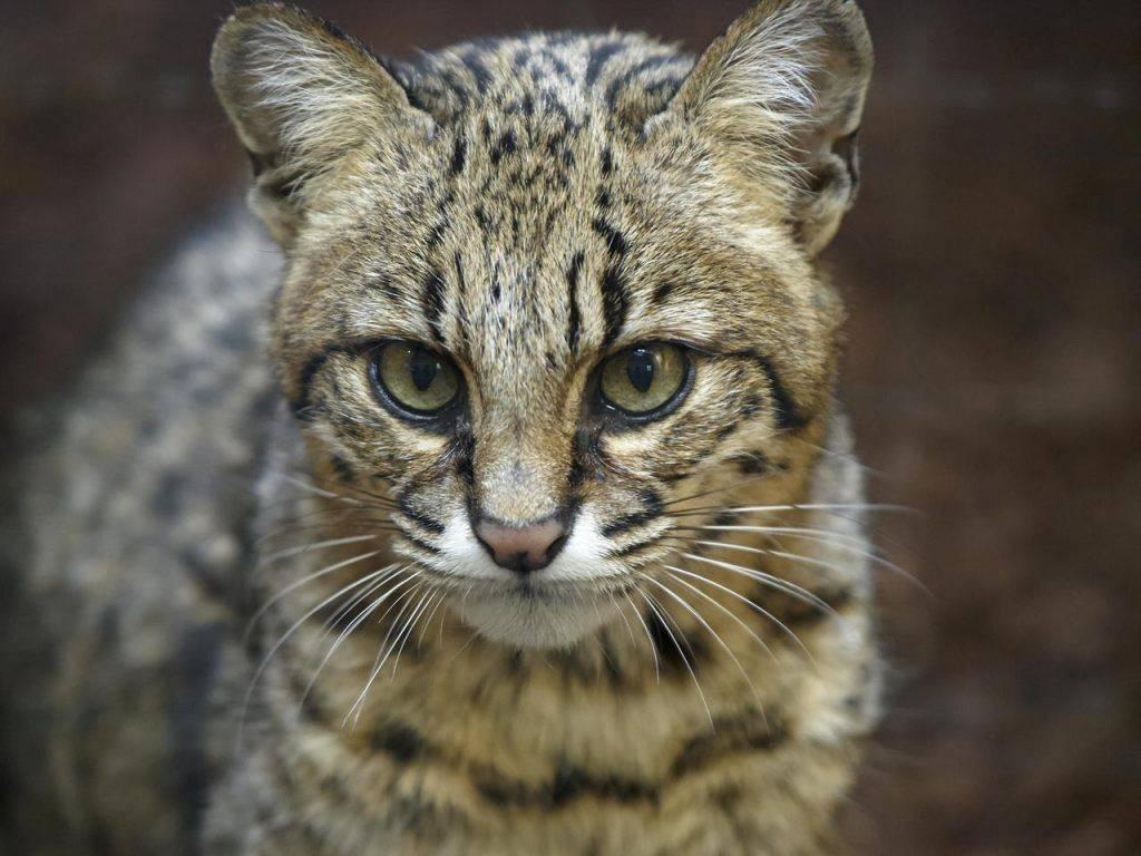 Бенгальская кошка: особенности породы, характера, ухода и взаимодействия