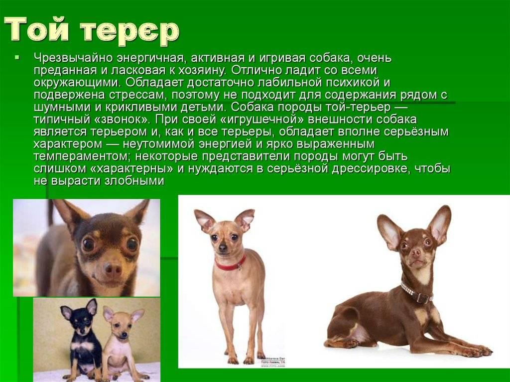 Той терьер собака. описание, особенности, уход и цена той терьера | sobakagav.ru