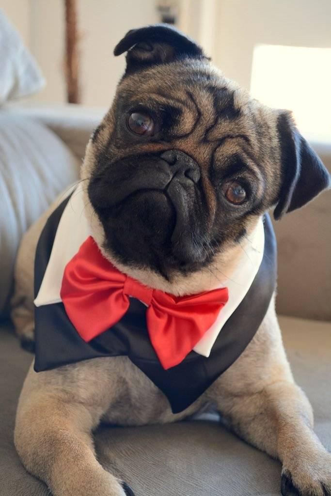 Мопс собака. описание, особенности, уход и цена мопса | sobakagav.ru
