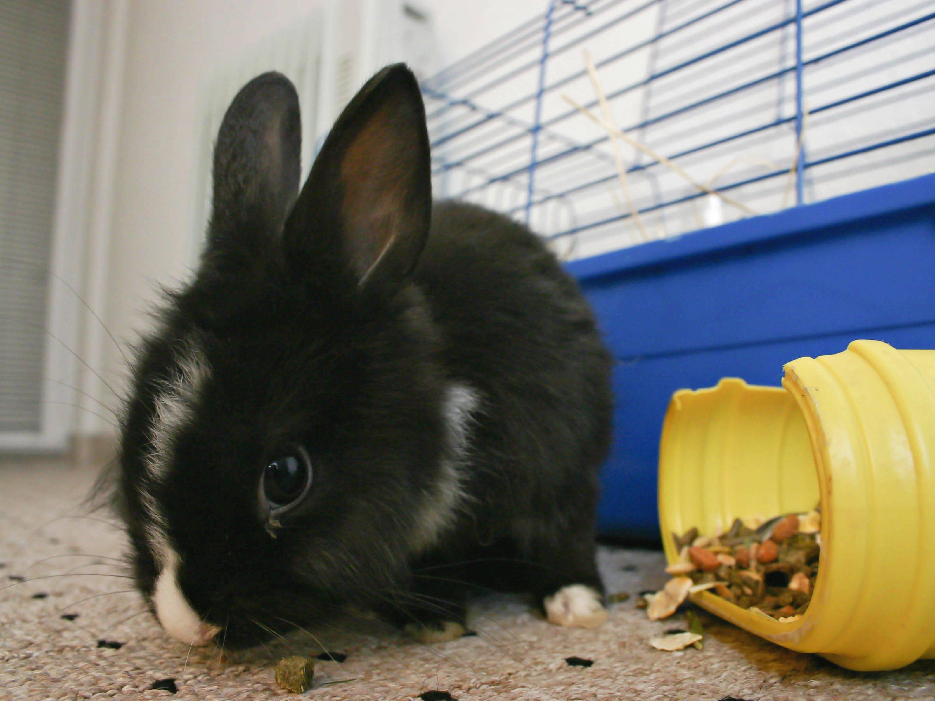 Карликовый кролик: уход и содержание в домашних условиях, отзывы, размеры, виды, продолжительность жизни, внешность и фото