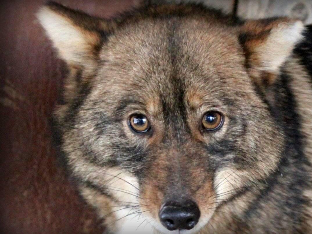 Собака сулимова, она же шалайка, она же шакалайка