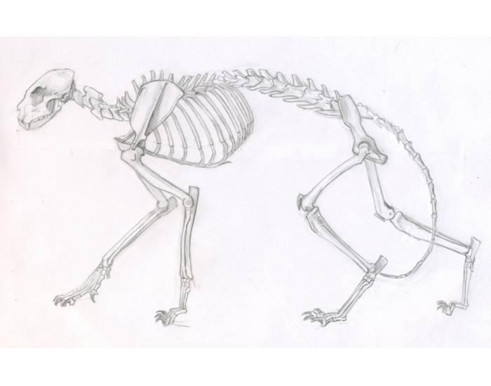 Скелет кошки: фото с описанием костей, отличия от строения кота и котенка
