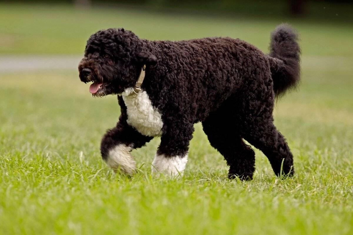 Испанская водяная собака (26 фото): особенности породы. плюсы и минусы. характер щенков. правила содержания собак
