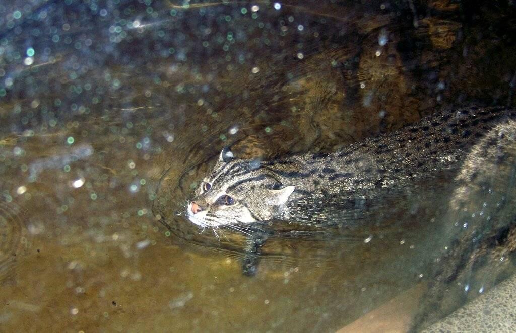 Виверровый кот-рыболов, виверровые коты рыболовы