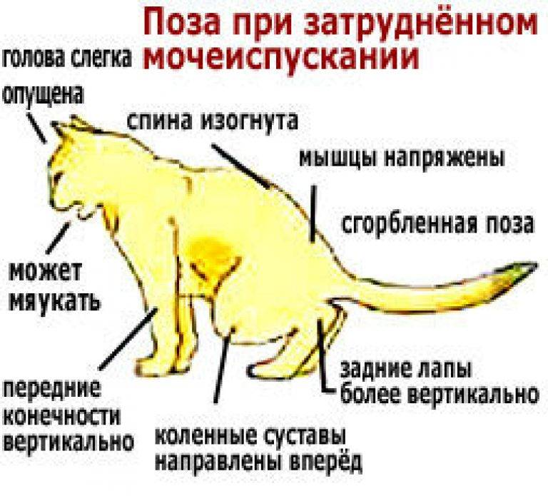 Цистит у собак: фото, видео, причины, симптомы, профилактика и лечение