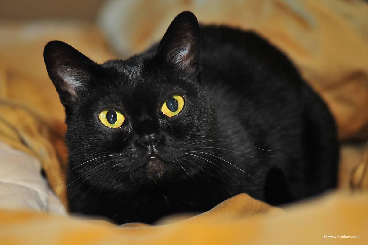 Бомбейская кошка - 75 фото почти настоящей черной кошки