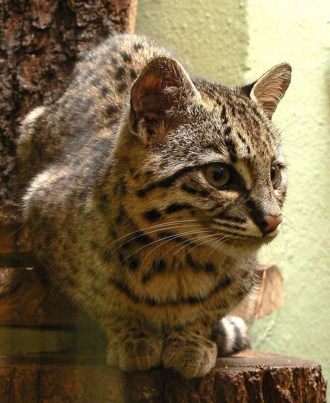 Кошка жоффруа – жизнь диких животных