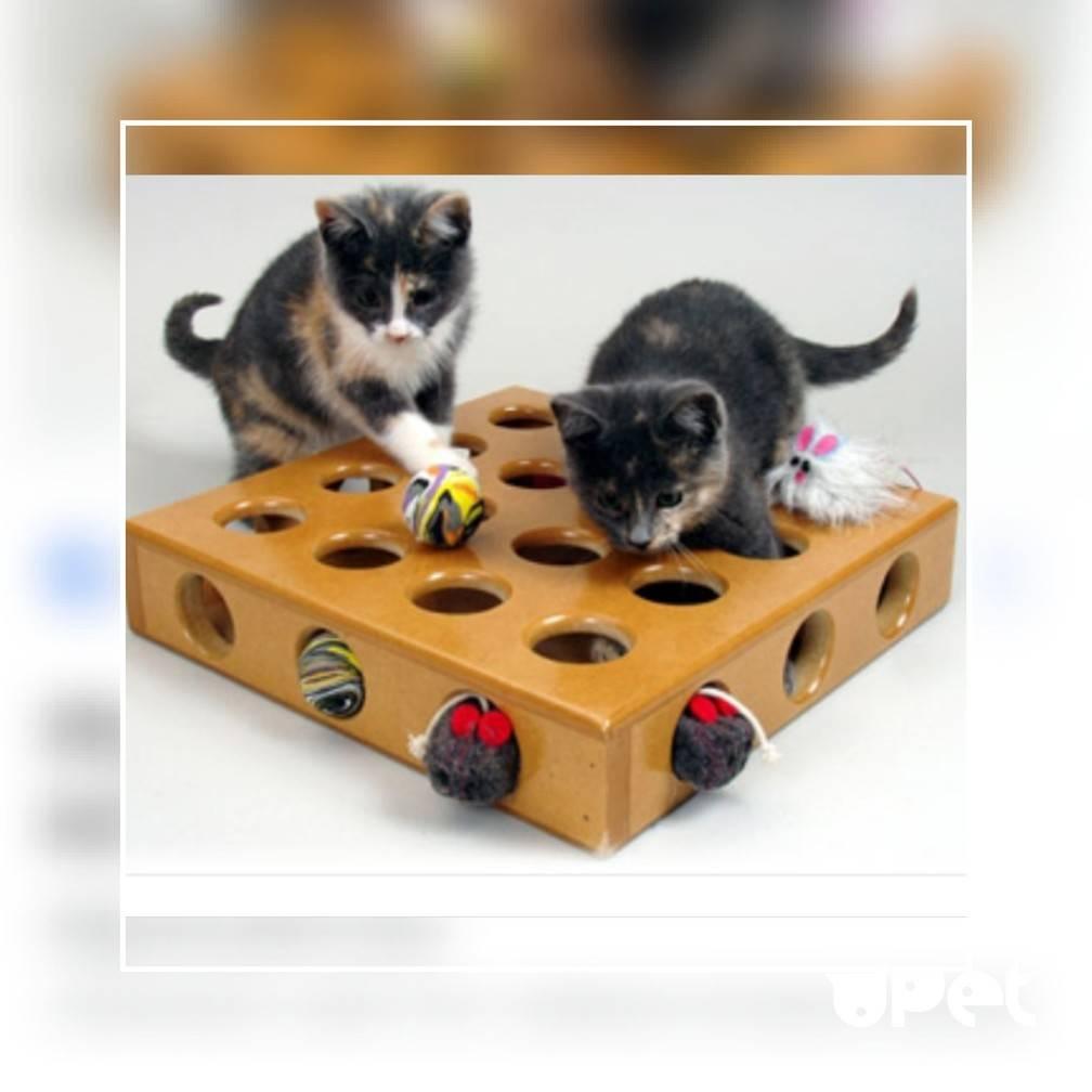 Самые умные породы кошек: кошачий интеллект, рейтинг лучших