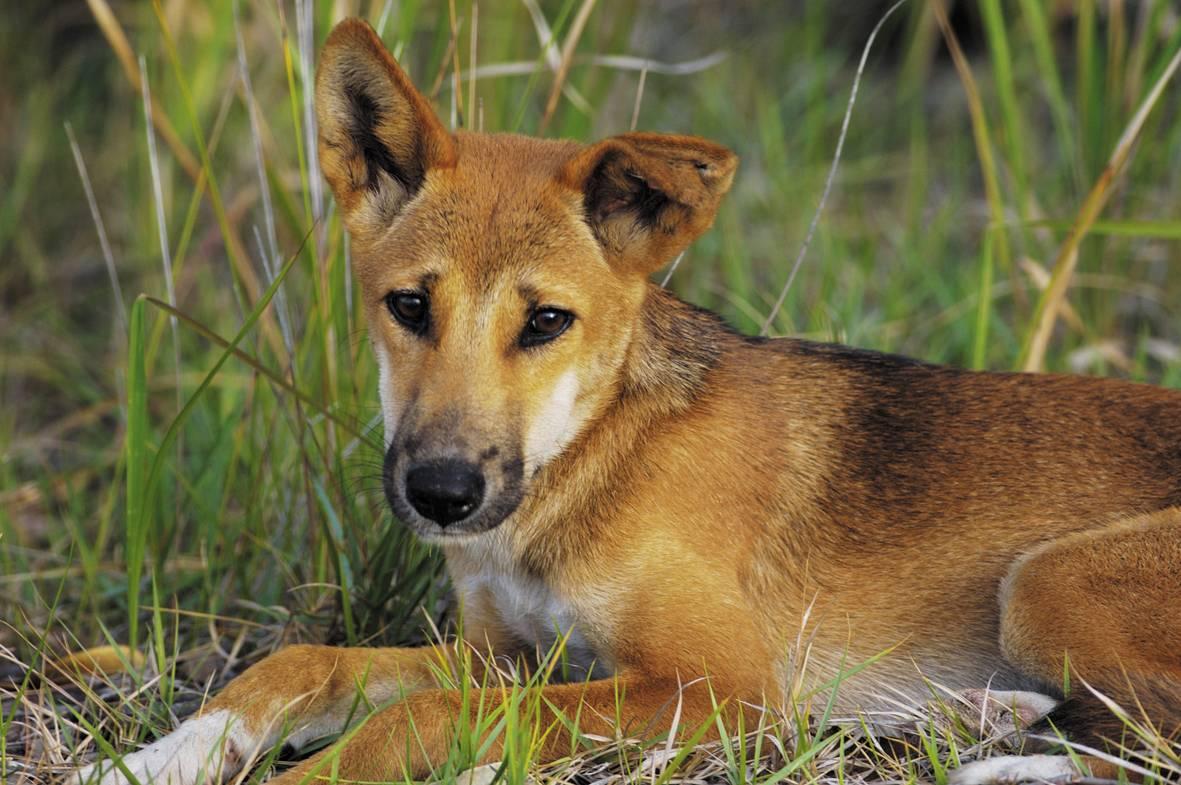Собака динго. образ жизни и среда обитания собаки динго   животный мир