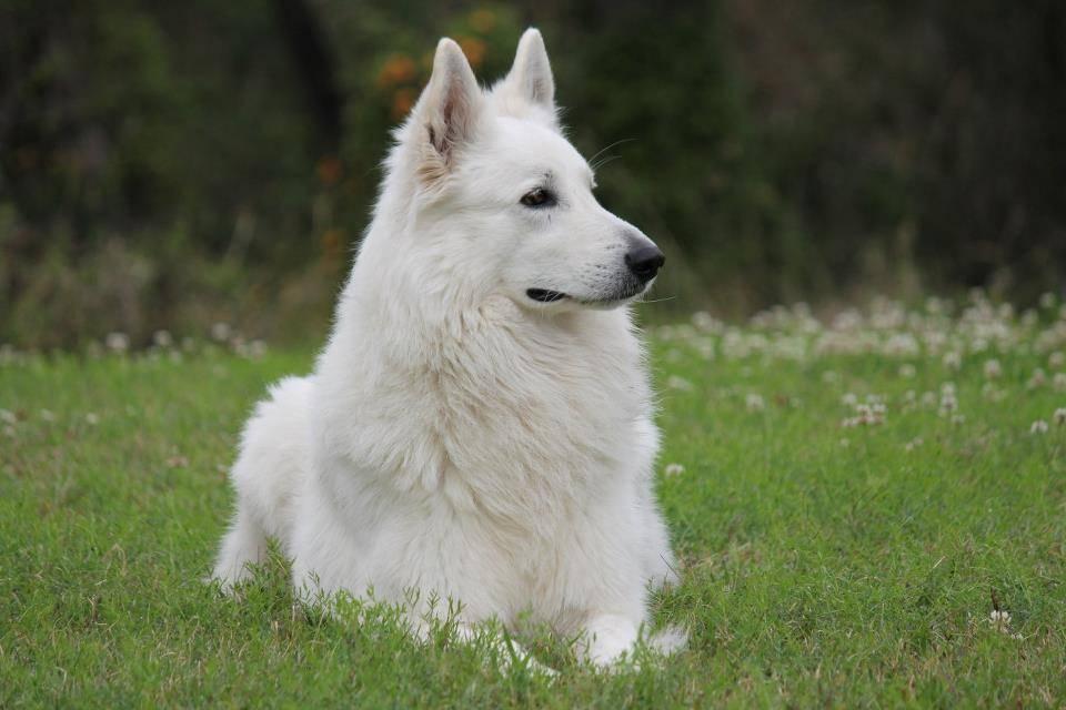 Белая швейцарская овчарка: описание, характеристика, история