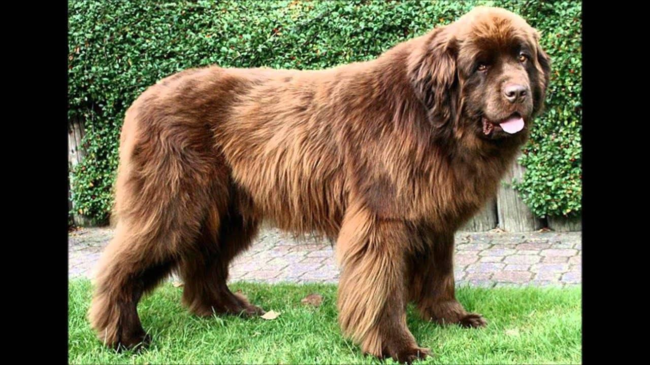 Самые большие породы собак в мире с фото и названием