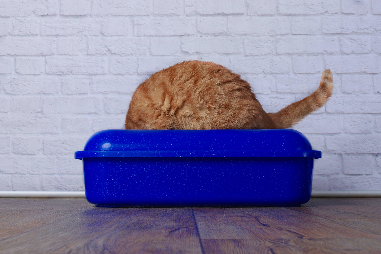 Моча у кошки – распространенные проблемы и способы их устранения