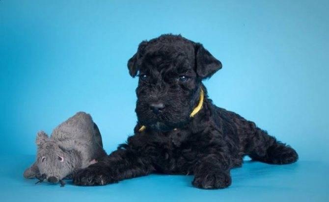 Характеристика собак породы керри-блю-терьер с отзывами и фото