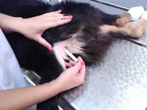 Цистит у собак, лечение в домашних условиях, причины и признаки