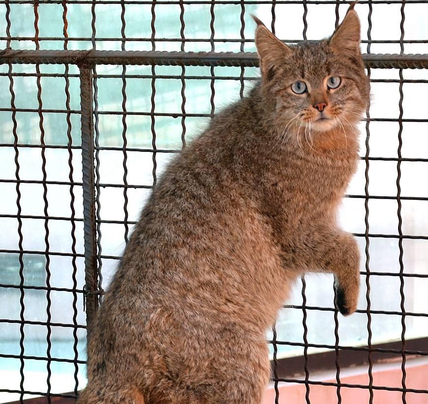 Сиамская кошка - 105 фото, особенности породы и правила кормления