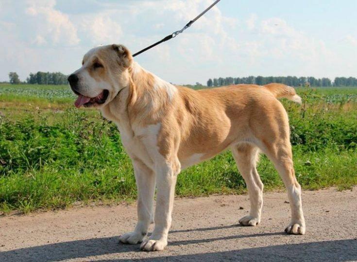 Собака алабай - фото, описание породы, характер и стоимость среднеазиатской овчарки. - petstime.ru