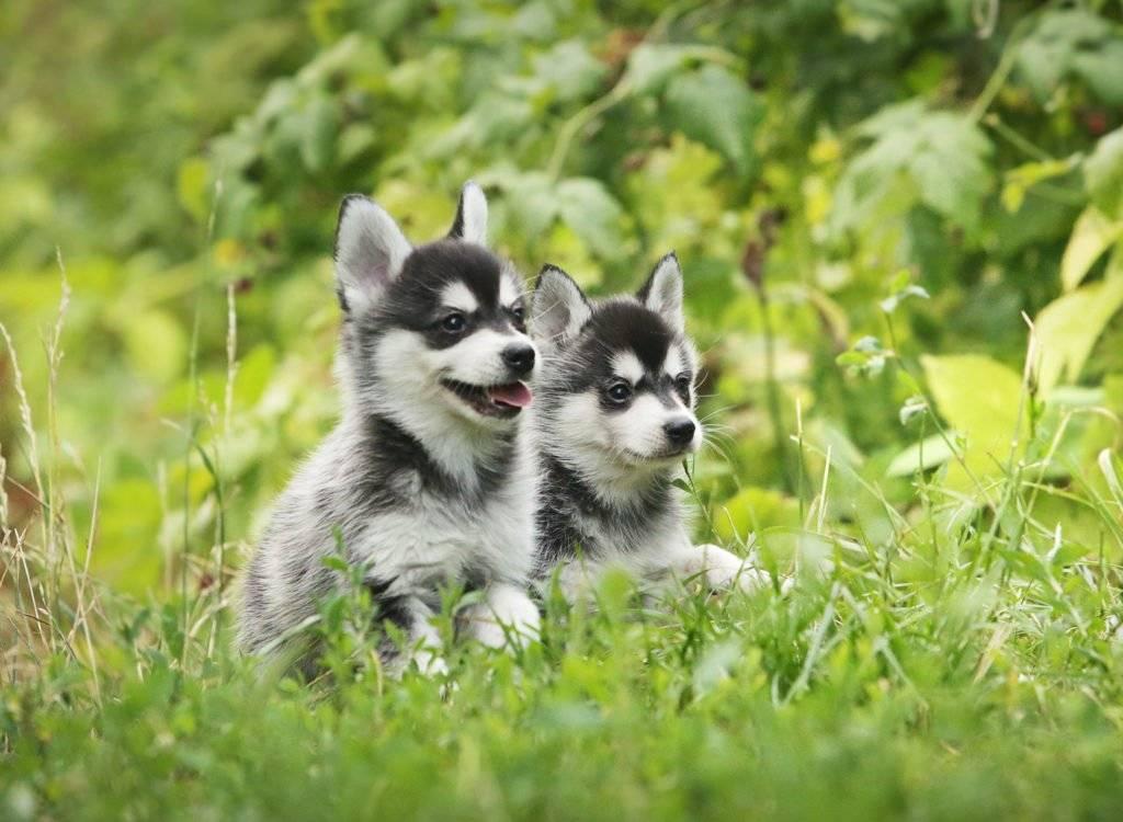 Аляскинский кли-кай (мини хаски): описание породы, характер, цена