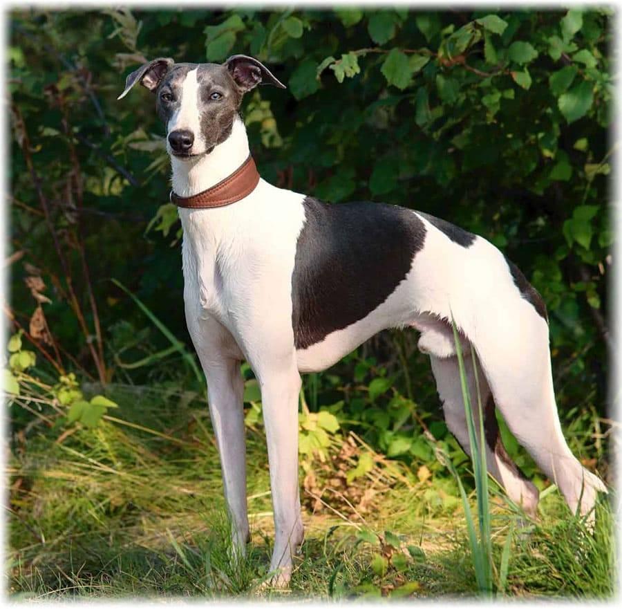 Уиппет собака. описание, особенности, уход и цена породы уиппет
