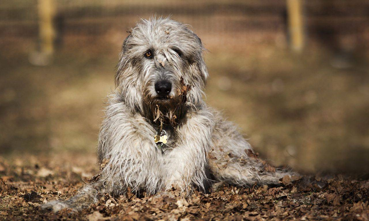 Волкодав собака. описание, особенности и уход за волкодавом | животный мир
