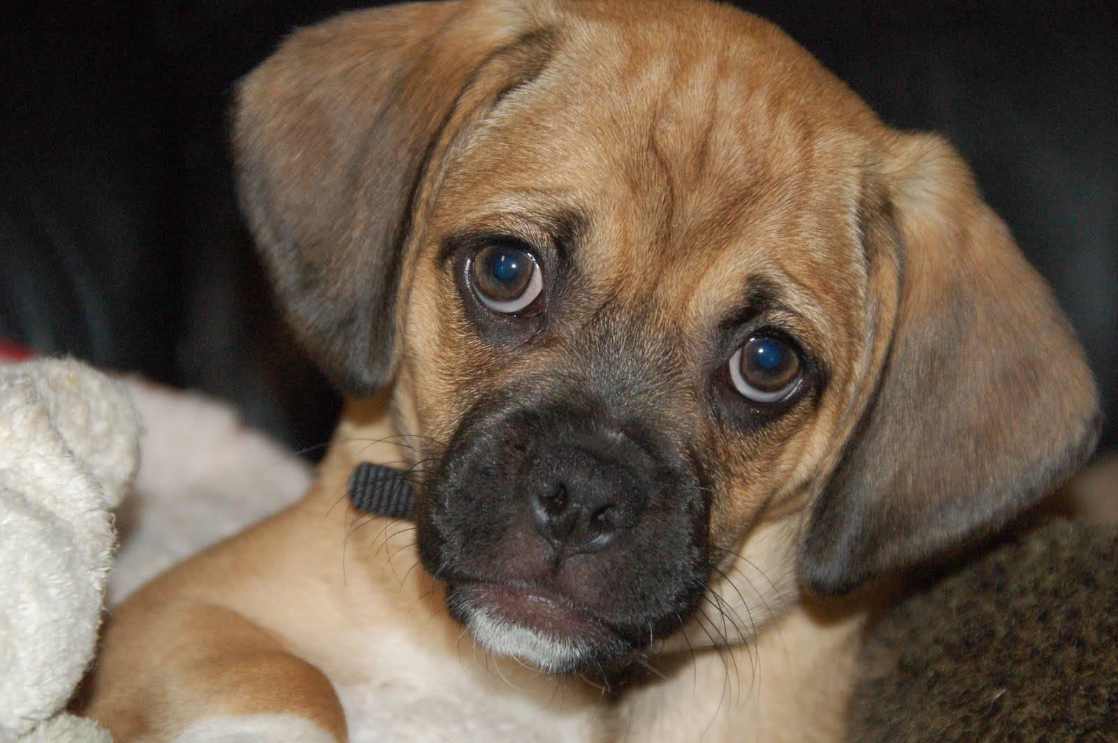 Пагль - фото, характер и описание породы. фото, видео и цена собак паглей - смеси бигля и мопса. - petstime.ru