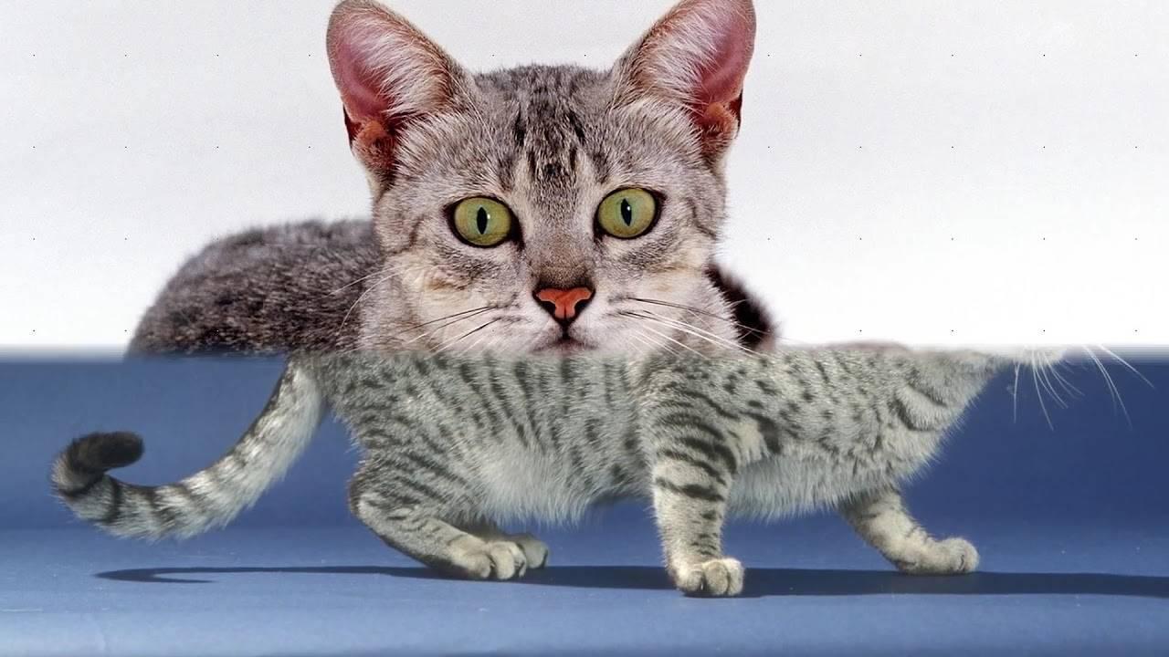 Порода кошек египетская мау: описание, уход и содержание, правила кормления кота мао