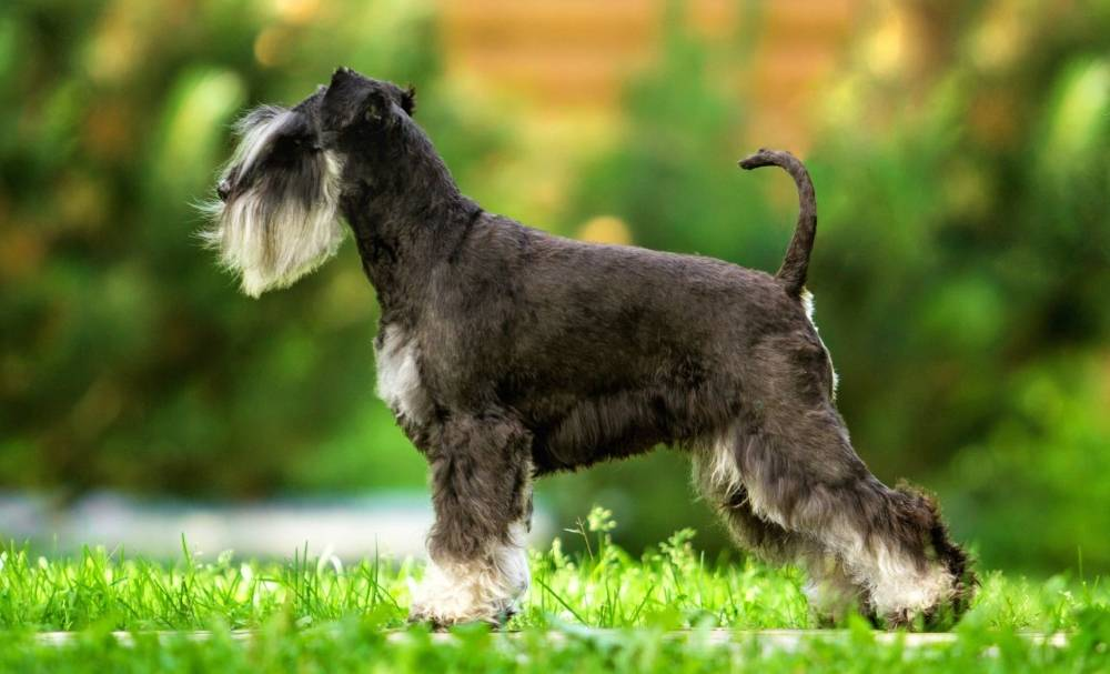 Собака шнауцер — разновидности и описание породы