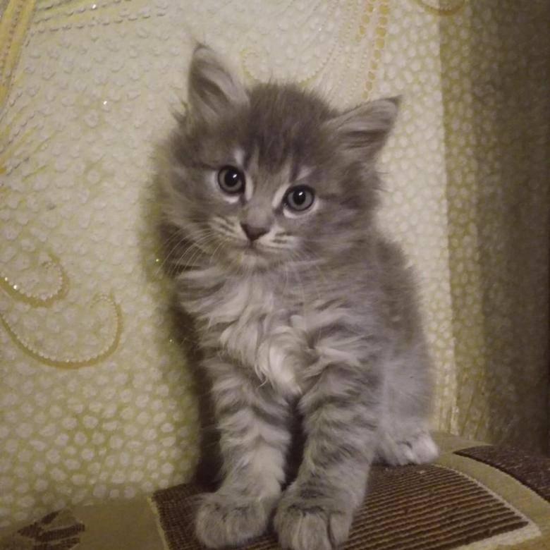Метис мейн-куна — смесь с обычной кошкой