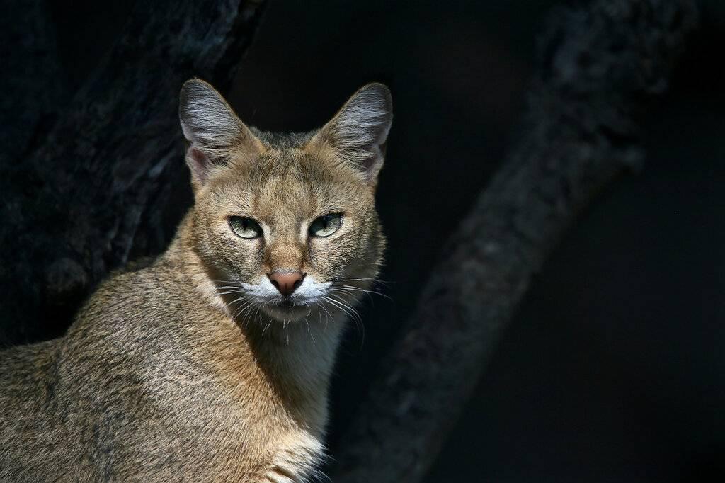 Камышовый кот: образ жизни, охота и питание, размножение