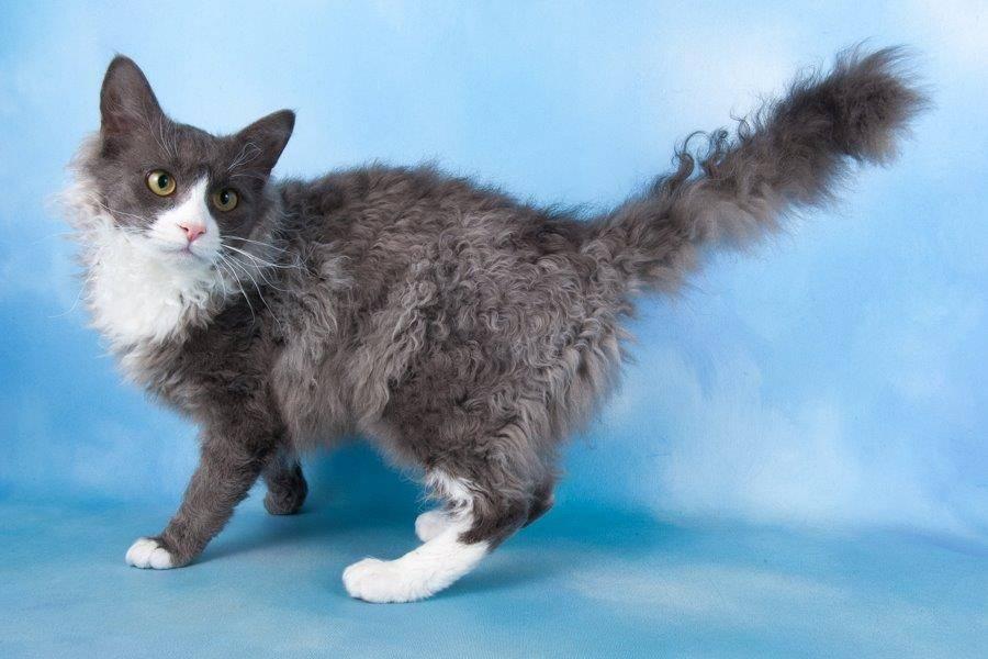 Описание породы кошек лаперм и отзывы владельцев