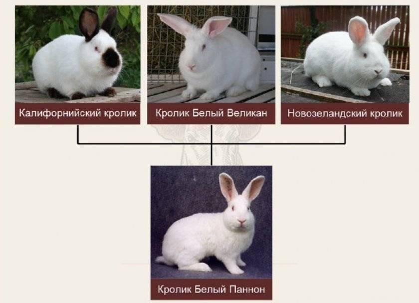 Кролик бабочка - описание, разведение, фото и видео | россельхоз.рф