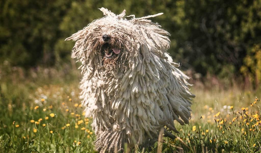 Венгерская овчарка (комондор): фото и описание древней породы собак