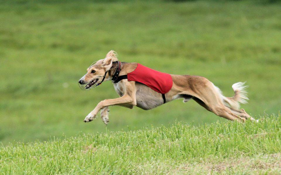 Быстрые собаки — топ 20 пород, которых никто не догонит