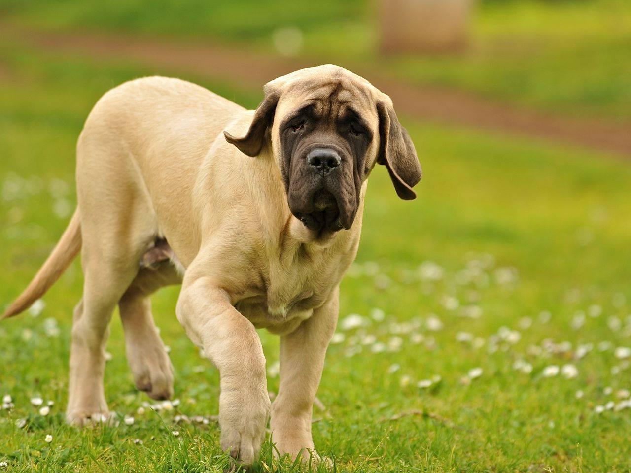 Английский мастиф (английский дог) — фото, характеристика породы собак, особенности