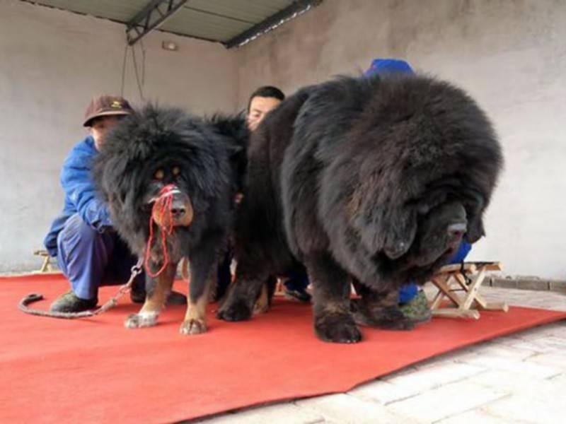 Самые большие тибетские мастифы