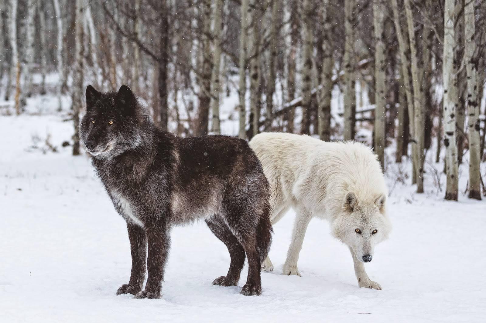 Волкособ: одомашненный волк или особый вид собаки? (125 фото + видео)