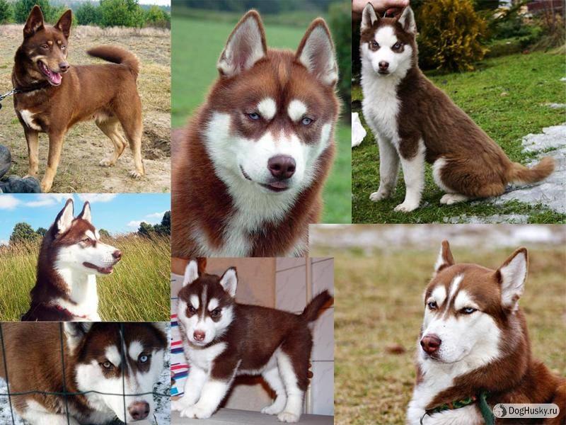 Белая хаски: как выглядит щенок на фото с карими глазами и в каком уходе нуждается кобель, а также как правильно выбрать питомца