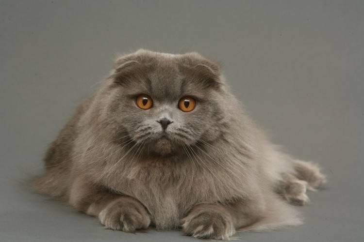 Шотландская порода кошек: воплощение аристократизма и флегматичности