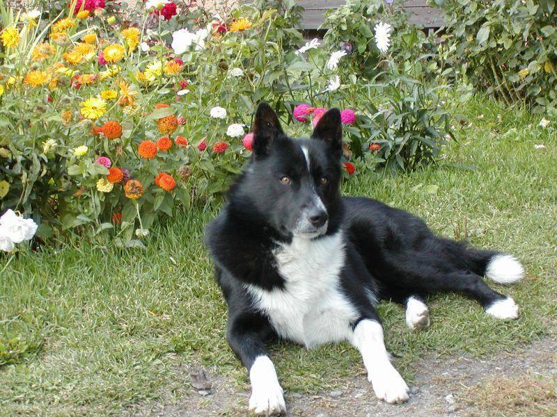 Карельская медвежья собака: стандарт, история, уход и содержание породы (+ фото)
