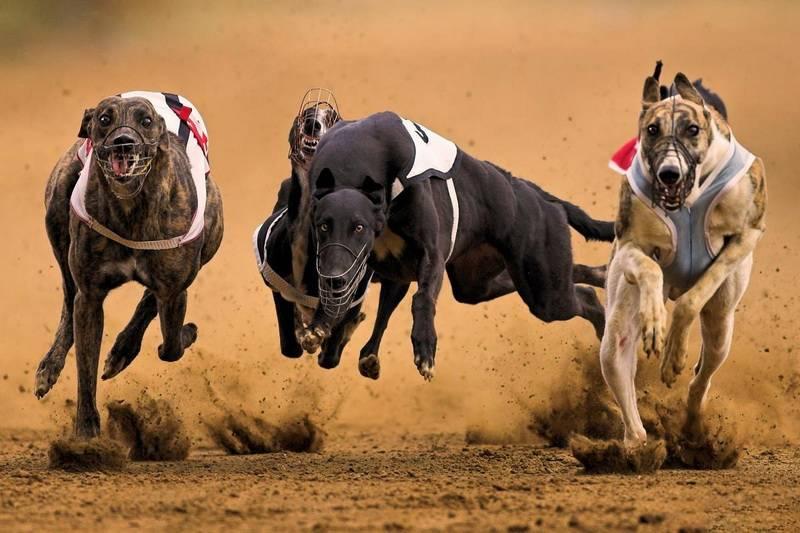 Профессиональный рейтинг из 10 самых быстрых беговых пород собак в мире