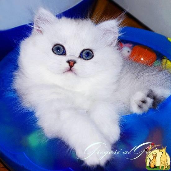 Шотландская, персидская и другие варианты пород белых кошек с голубыми глазами