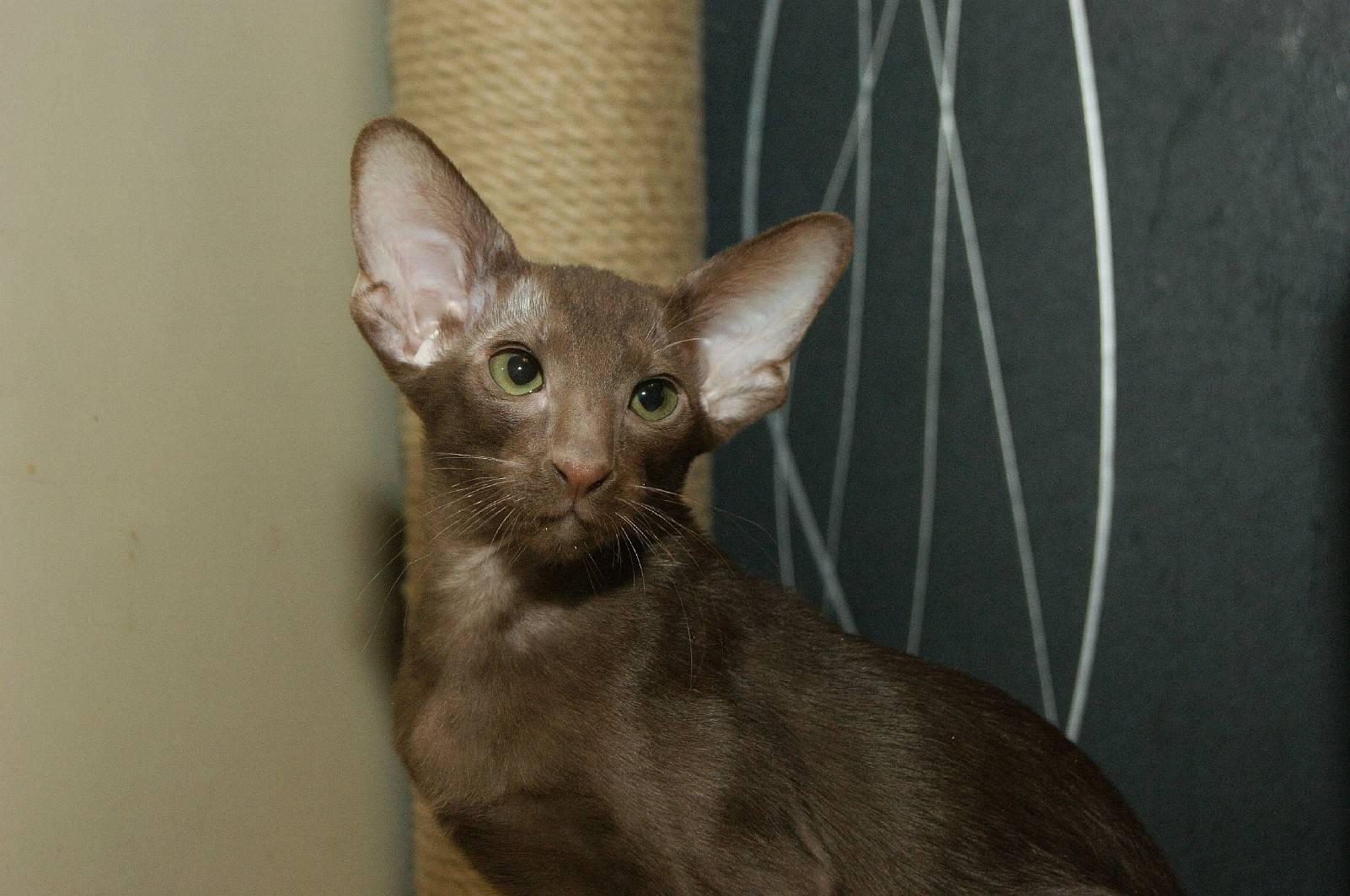 Кот грузин или кошки, похожие на грузинов