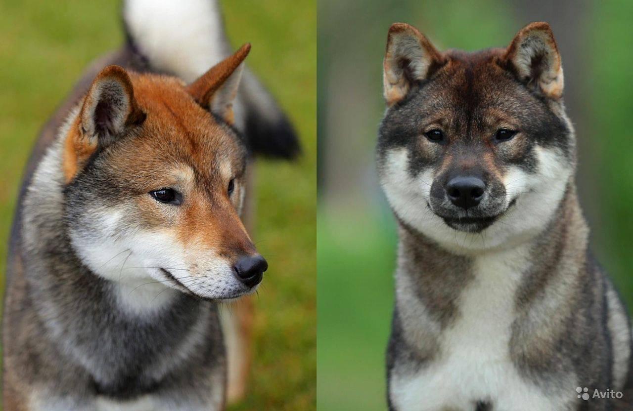Сикоку (порода собак) — википедия. что такое сикоку (порода собак)