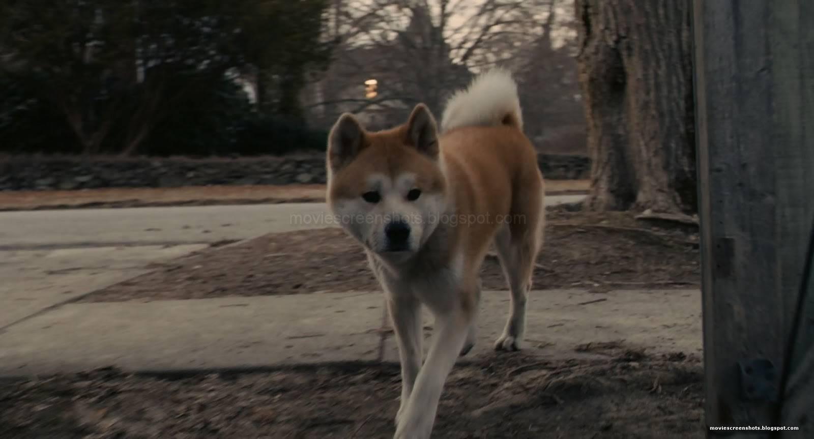 """Порода собаки изфильма """"хатико"""""""