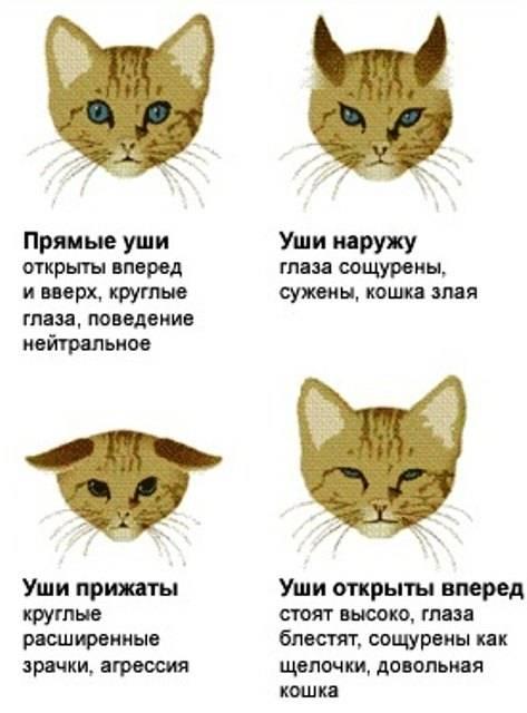 Мяуканье кошки: что означают звуки питомца