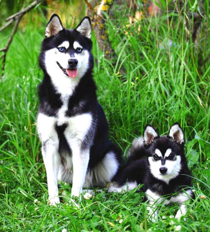 Аляскинский кли кай (мини-хаски): цена щенков, отзывы, фото, содержание, рекомендации, окрас, характер, история породы