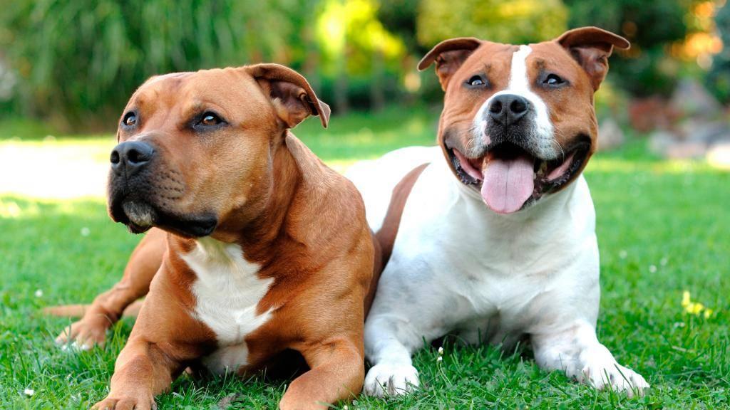 Бойцовские собаки (фото): сочетание силы и преданности