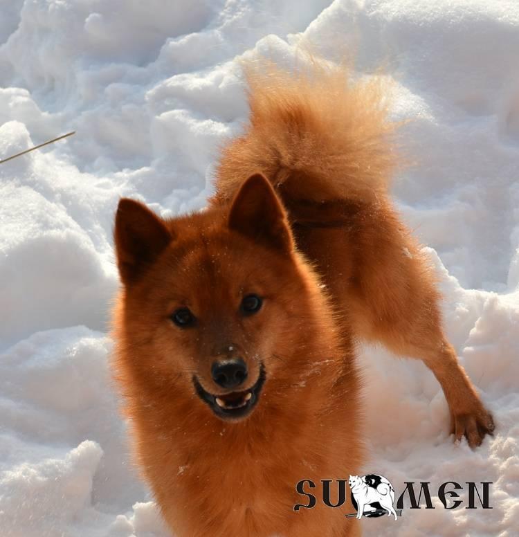 Карело-финская лайка — описание породы, характеристика, уход, фото карело-финских шпицев и многое другое